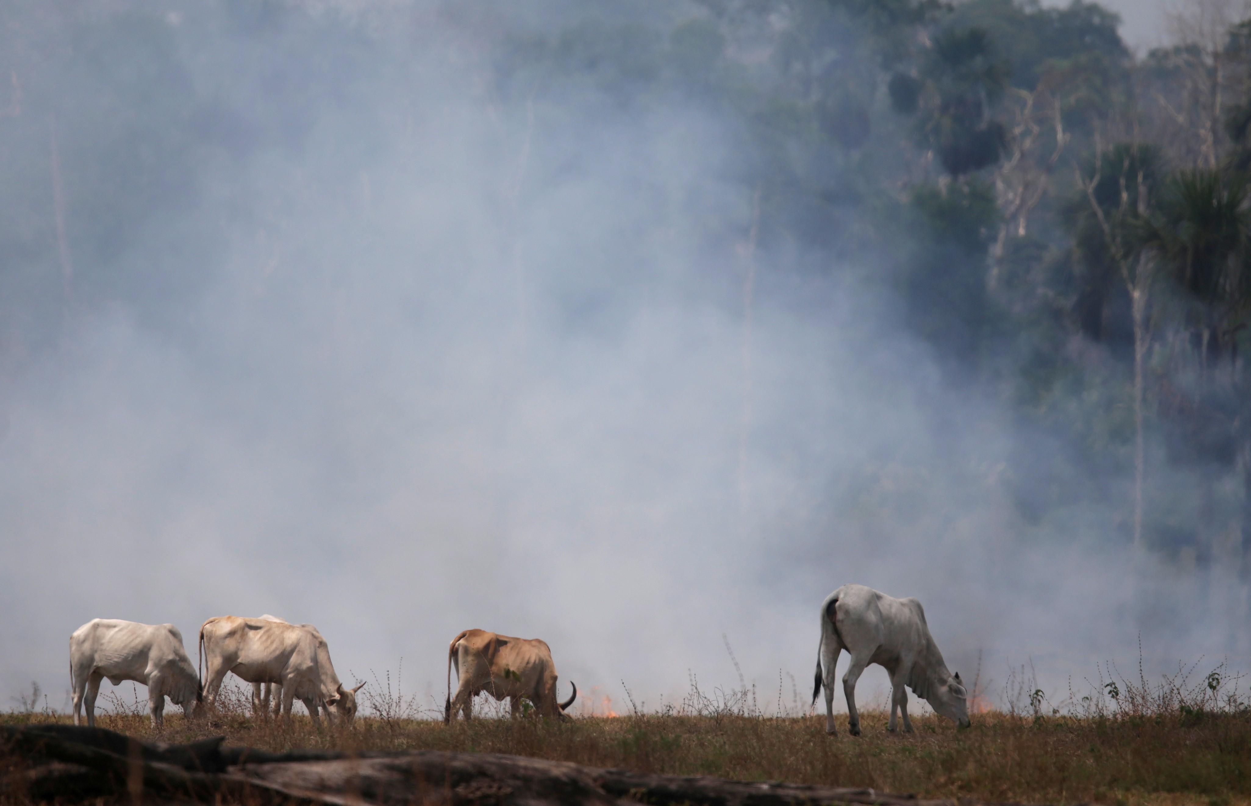 ONG afirma que grandes frigoríficos do Brasil compraram gado de áreas de desmatamento ilegal na Amazônia