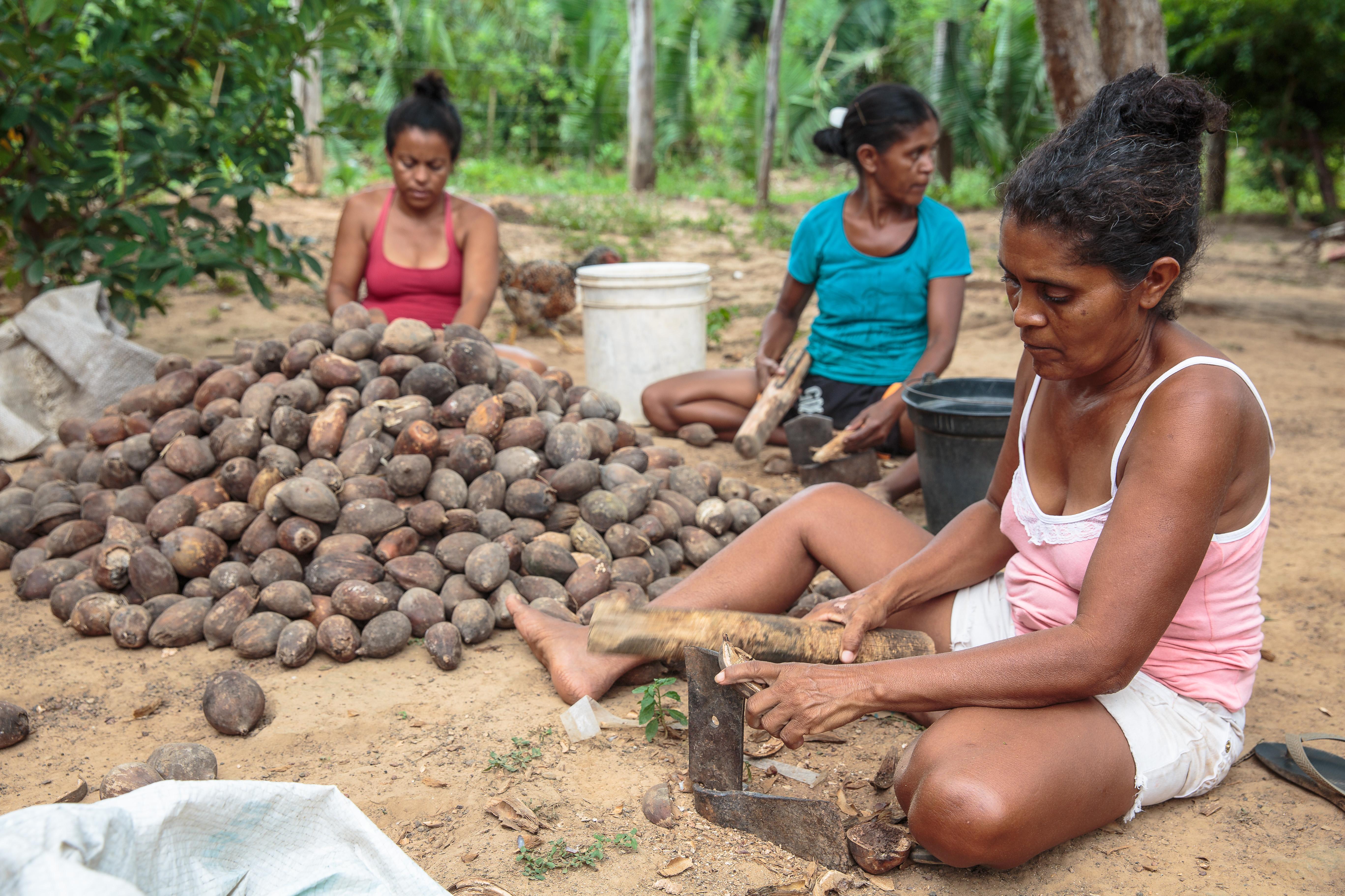 Produção do pequi, mercado da borracha e da castanha-do-brasil são destaques no Boletim da Sociobiodiversidade