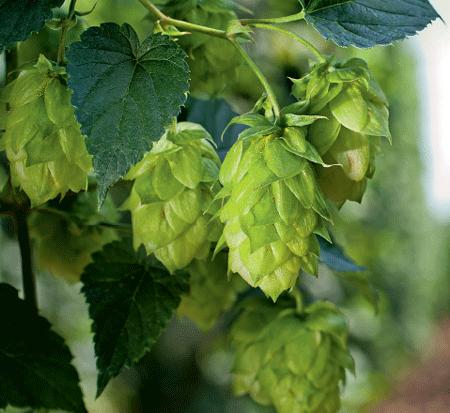 Novas técnicas favorecem o cultivo nacional do lúpulo, usado para preparar cerveja