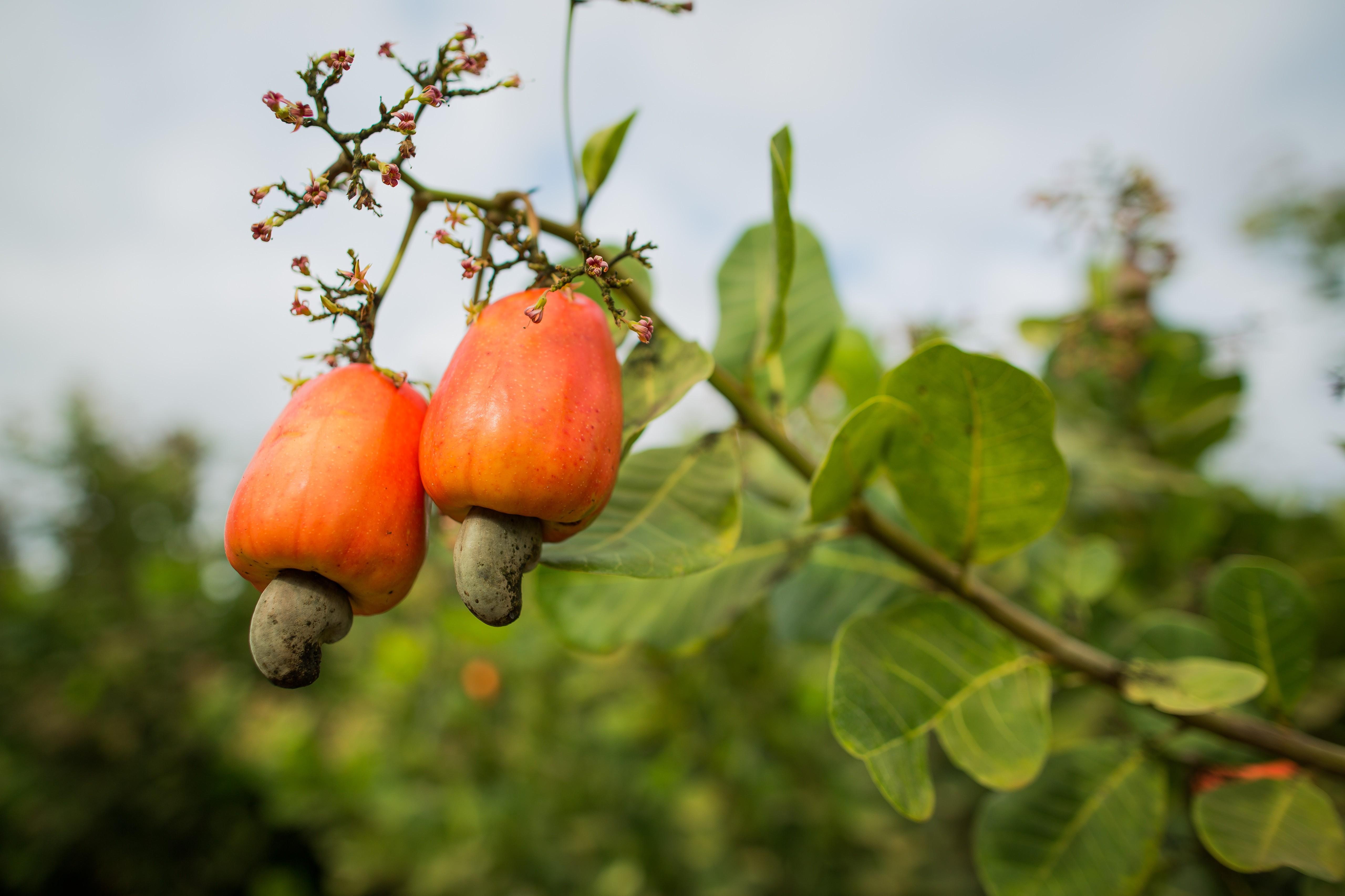 Caju, o falso fruto que pode virar até 'queijo'